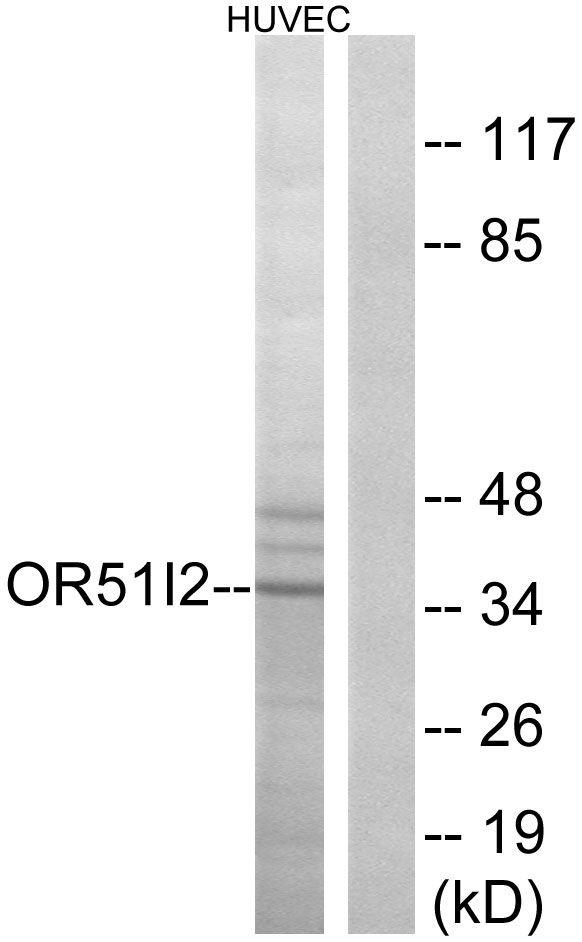OR51I2 Antibody (PA5-38173) in Western Blot