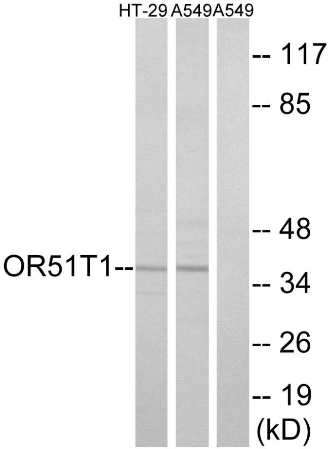 OR51T1 Antibody (PA5-38176) in Western Blot