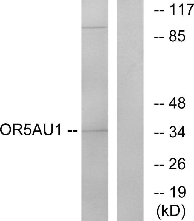 OR5AU1 Antibody (PA5-38188) in Western Blot