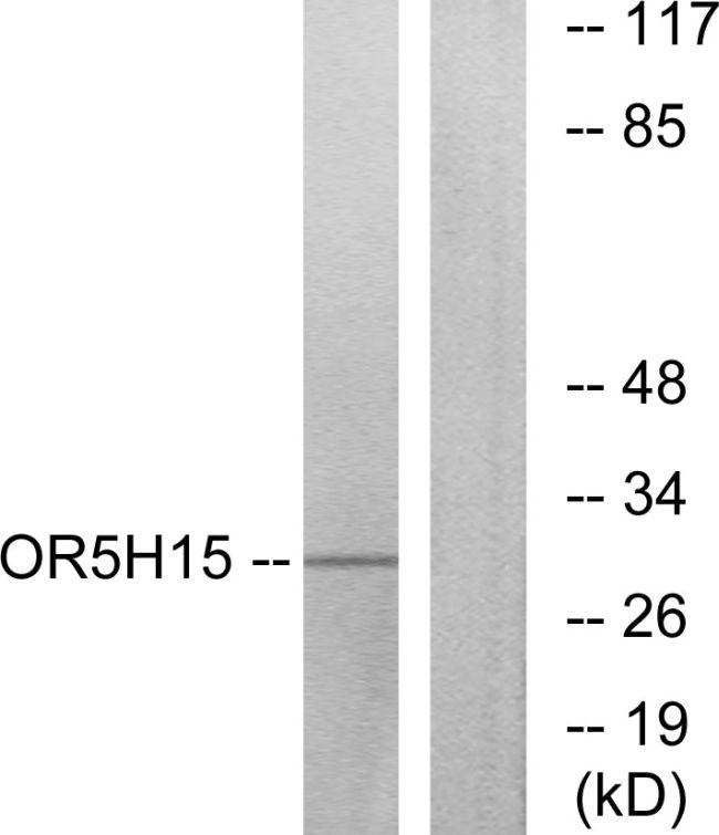 OR5H15 Antibody (PA5-38189) in Western Blot