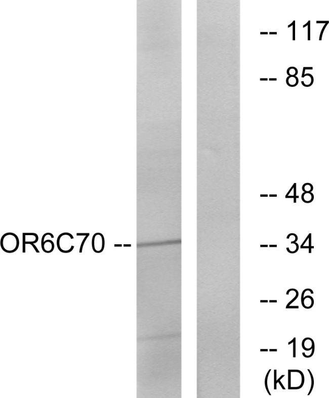 OR6C70 Antibody (PA5-38191)
