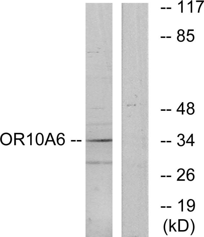 OR10A6 Antibody (PA5-38193) in Western Blot