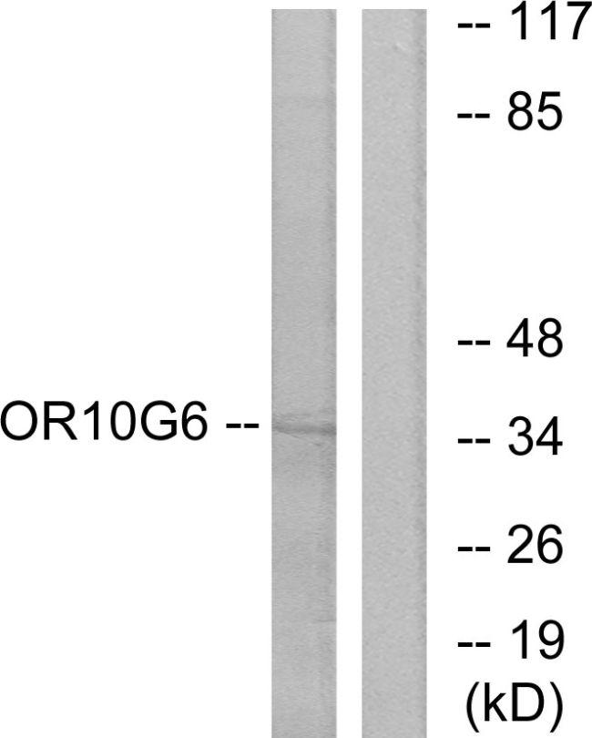 OR10G6 Antibody (PA5-38195) in Western Blot