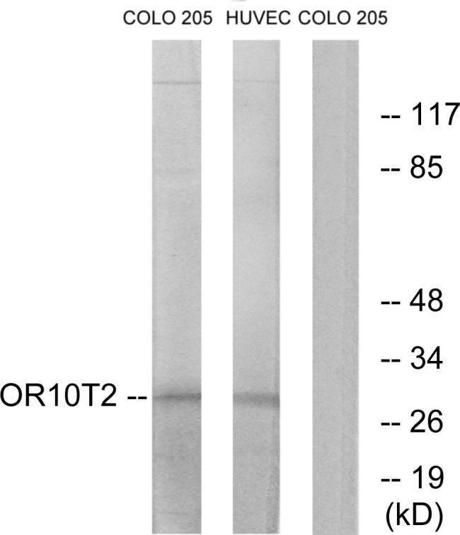 OR10T2 Antibody (PA5-38199) in Western Blot