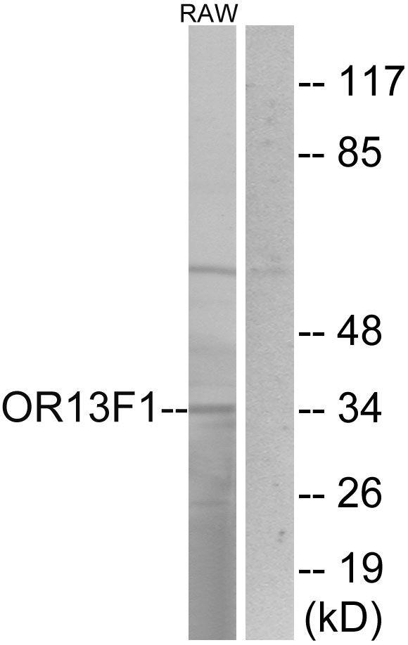 OR13F1 Antibody (PA5-38202)