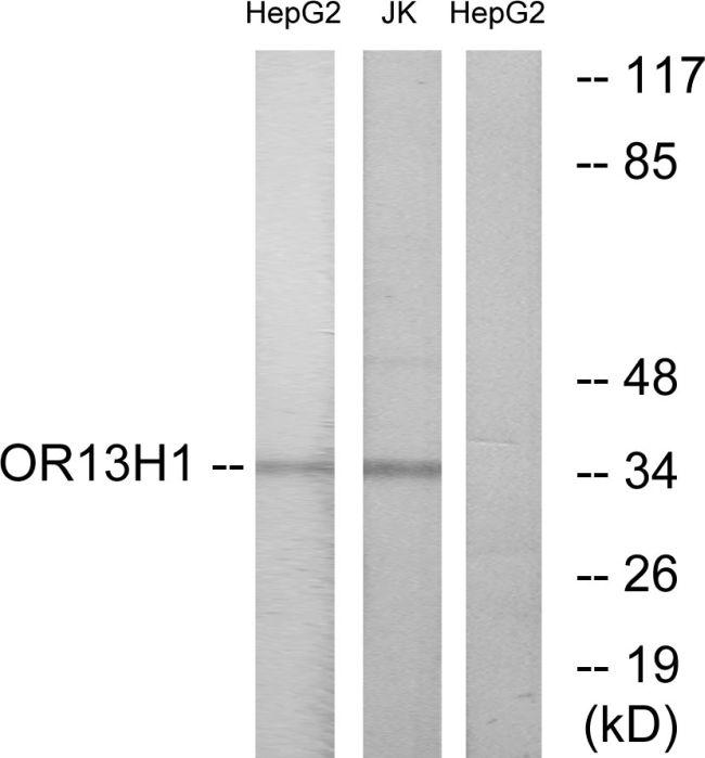 OR13H1 Antibody (PA5-38204) in Western Blot