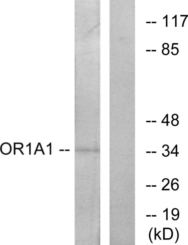 OR1A1 Antibody (PA5-38205) in Western Blot