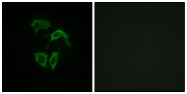 OR2A4/OR2A7 Antibody (PA5-38209)