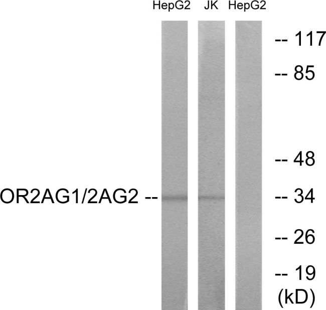 OR2AG1/OR2AG2 Antibody (PA5-38211) in Western Blot