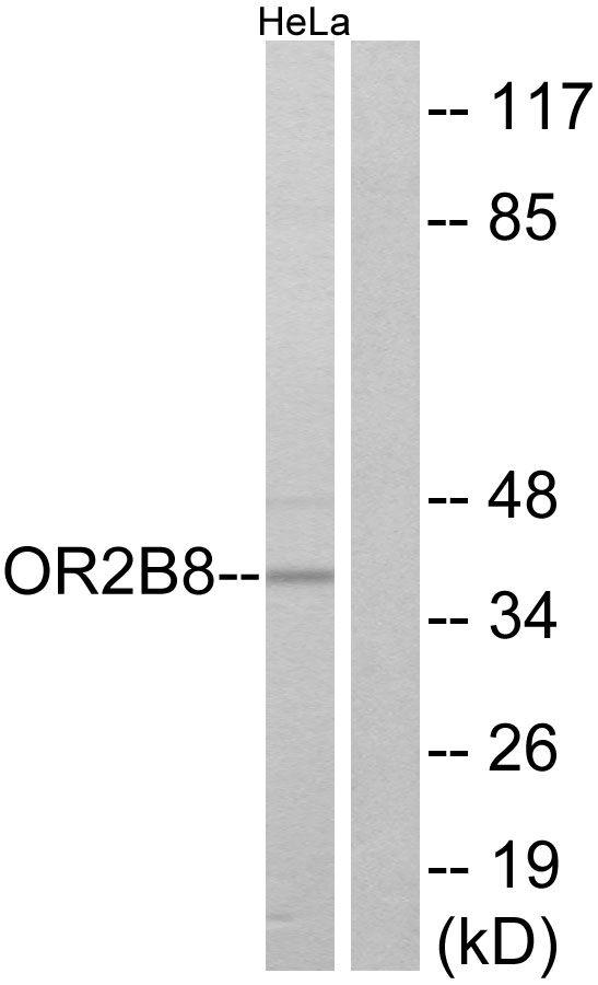 OR2B8P Antibody (PA5-38213)