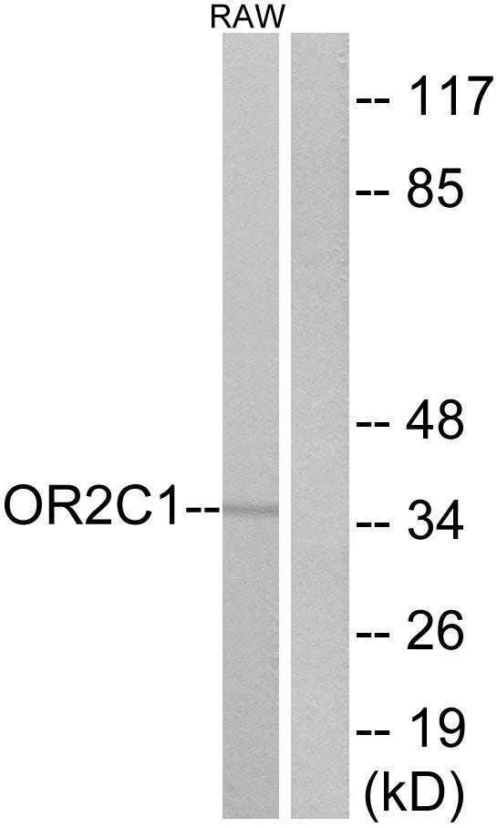 OR2C1 Antibody (PA5-38214) in Western Blot