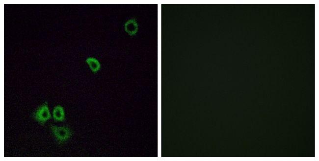 OR2G3 Antibody (PA5-38216)