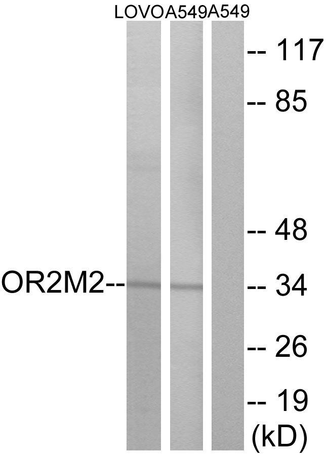 OR2M2 Antibody (PA5-38220) in Western Blot