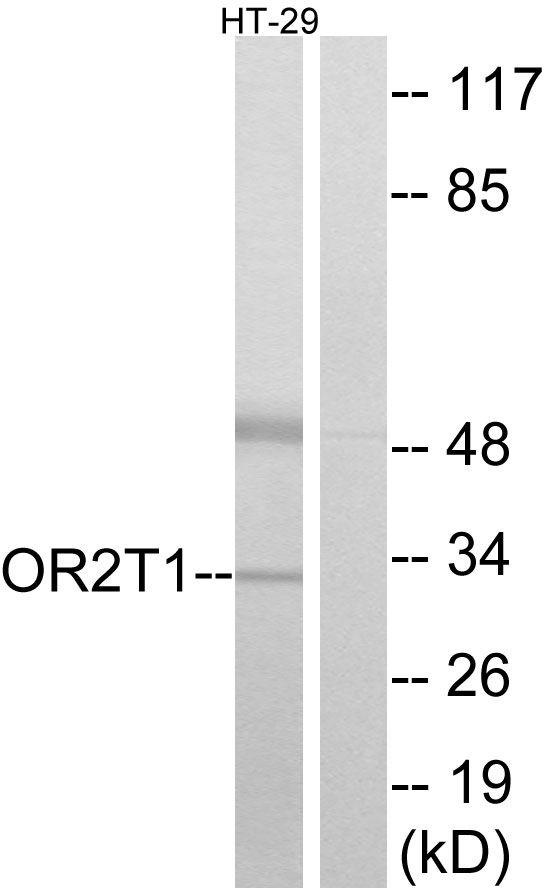 OR2T1 Antibody (PA5-38222) in Western Blot