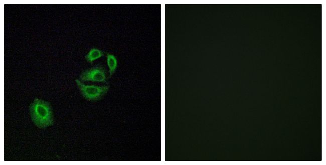 OR2T2/OR2T35 Antibody (PA5-38223)