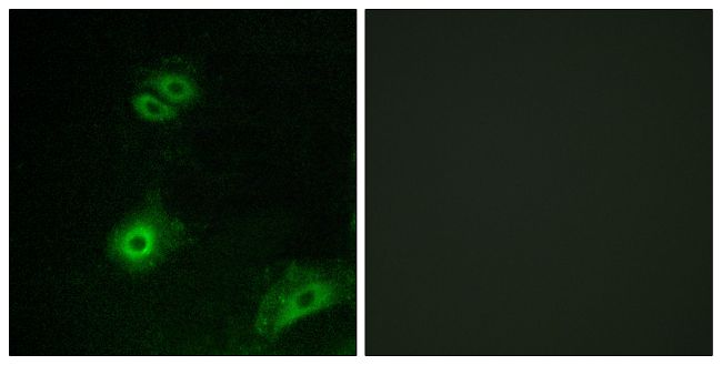 OR4A16 Antibody (PA5-38227) in Immunofluorescence