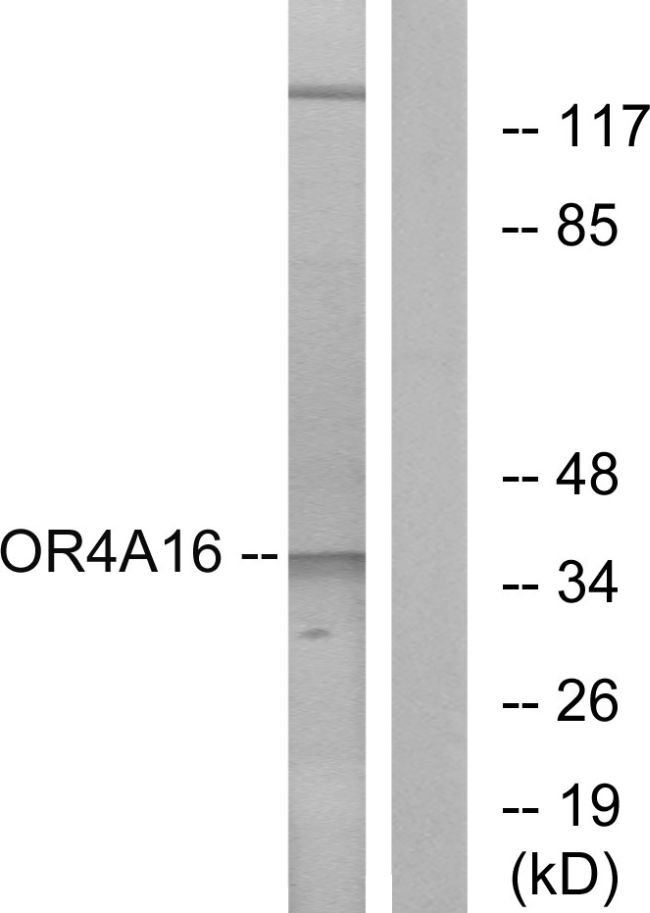 OR4A16 Antibody (PA5-38227) in Western Blot