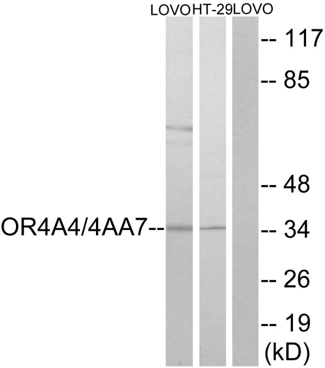 OR4A4/OR4A47 Antibody (PA5-38228) in Western Blot
