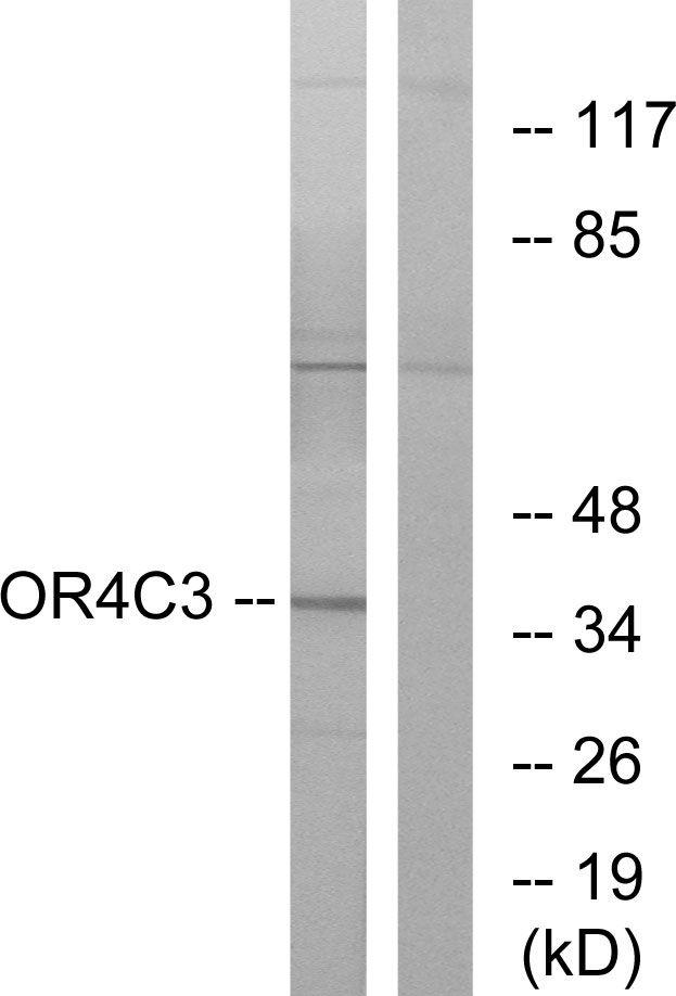 OR4C3 Antibody (PA5-38229) in Western Blot