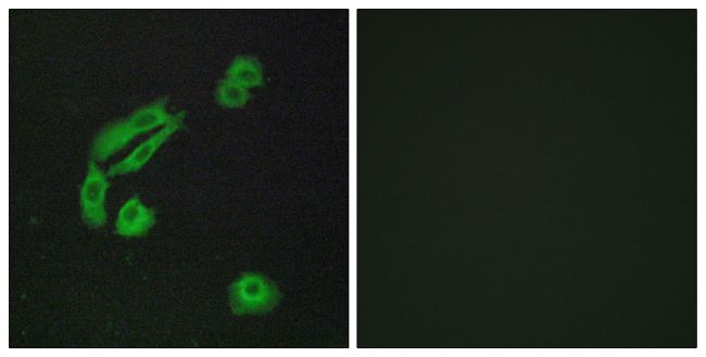 OR4C13 Antibody (PA5-38232)