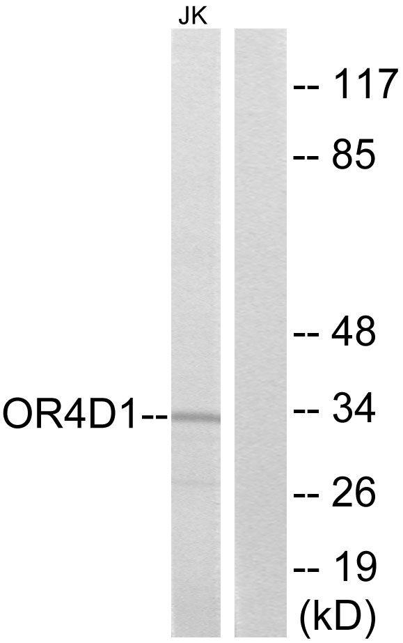 OR4D1 Antibody (PA5-38235) in Western Blot