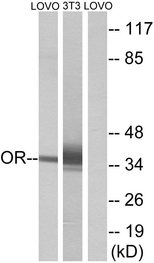OR4D6 Antibody (PA5-38236) in Western Blot