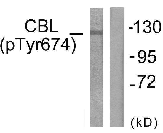 Phospho-c-Cbl (Tyr674) Antibody (PA5-38267) in Western Blot