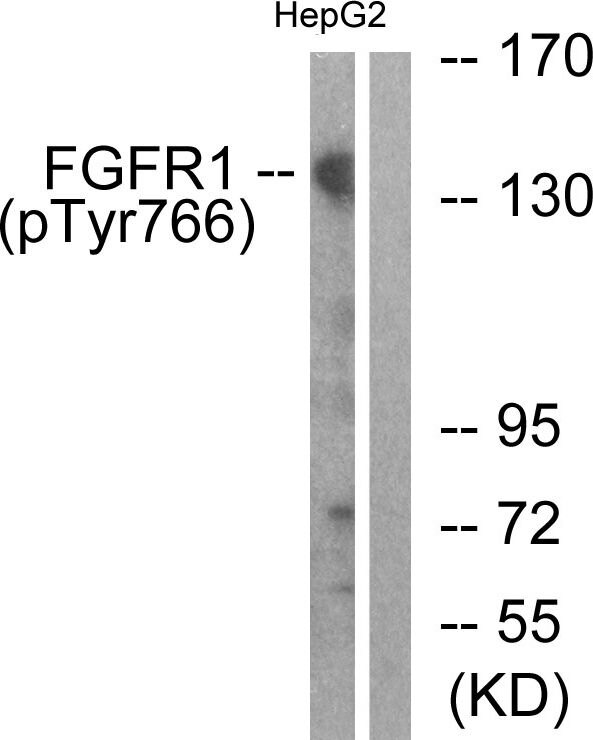 Phospho-FGFR1 (Tyr766) Antibody (PA5-38271)