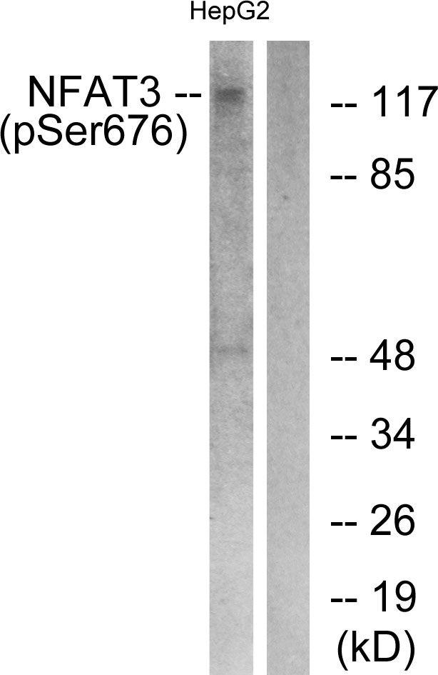 Phospho-NFATC4 (Ser676) Antibody (PA5-38302)