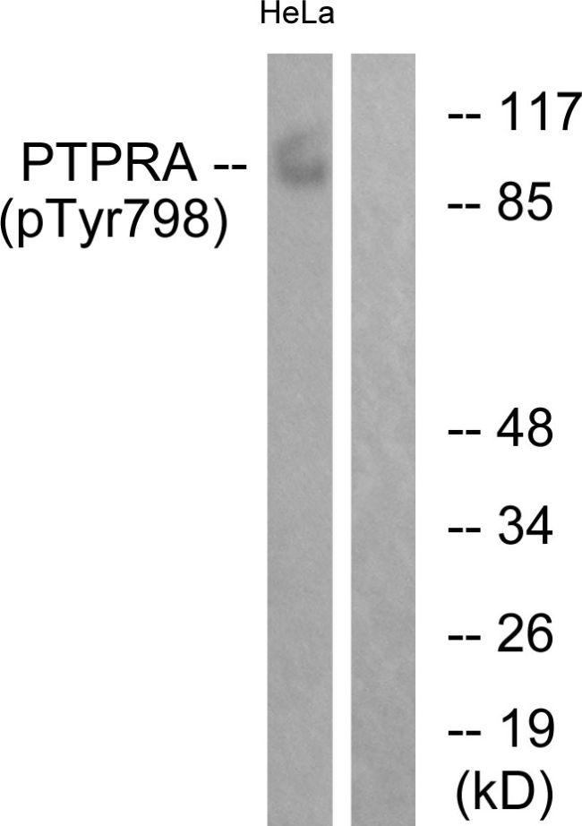 Phospho-PTPRA (Tyr798) Antibody (PA5-38323)