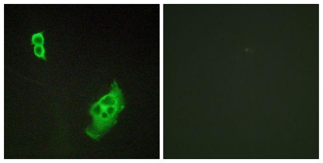 WAVE1 Antibody (PA5-38348) in Immunofluorescence