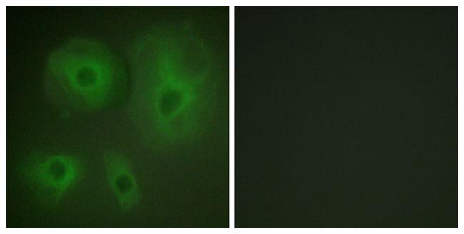 14-3-3 theta Antibody (PA5-38397)