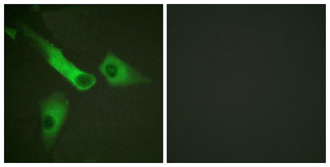 Phospho-Caspase 9 (Tyr153) Antibody (PA5-38436)