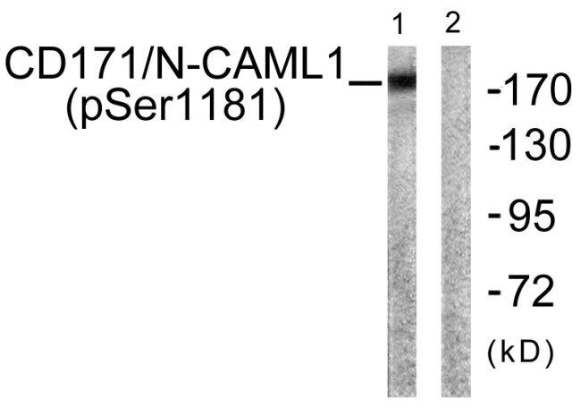 Phospho-CD171 (Ser1181) Antibody (PA5-38442) in Western Blot