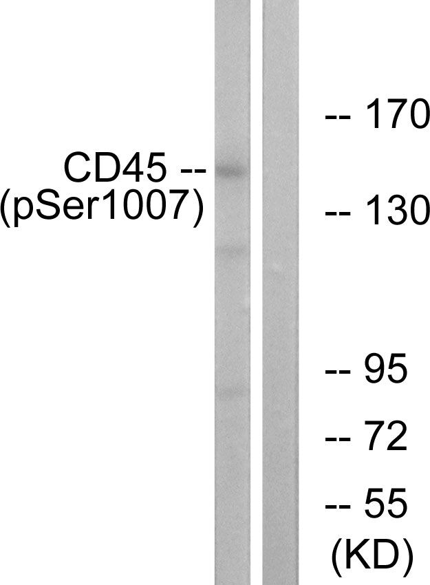 Phospho-CD45 (Ser1007) Antibody (PA5-38448)