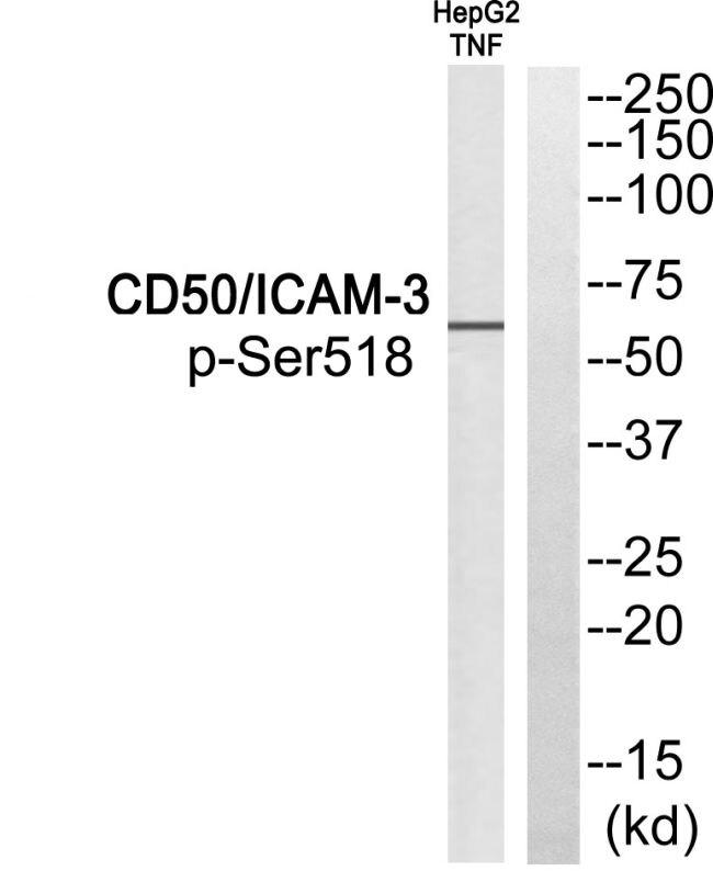 Phospho-ICAM-3 (Ser518) Antibody (PA5-38450)