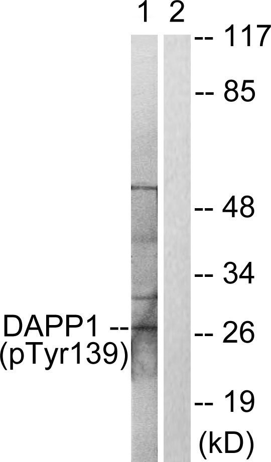 Phospho-DAPP1 (Tyr139) Antibody (PA5-38468) in Western Blot