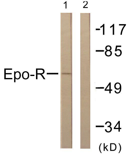 EpoR Antibody (PA5-38484) in Western Blot