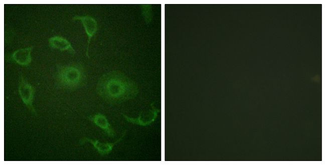 ImmunofluorescenceNAR1 Antibody (PA5-38503) in Immunofluorescence