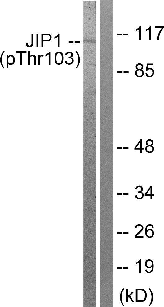 Phospho-JIP1 (Thr103) Antibody (PA5-38505) in Western Blot