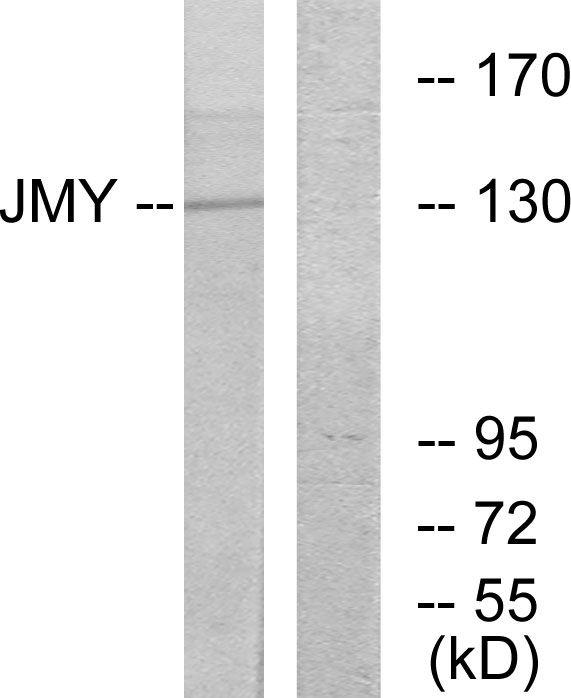 JMY Antibody (PA5-38513)