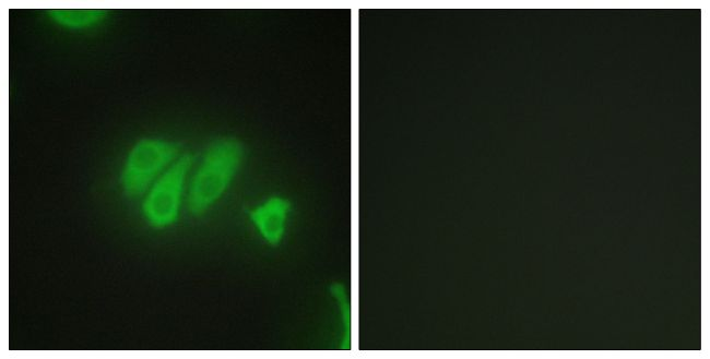 PDZD2 Antibody (PA5-38522)