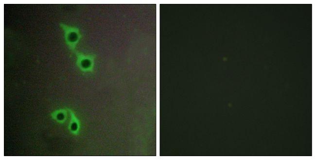 MAST4 Antibody (PA5-38523) in Immunofluorescence