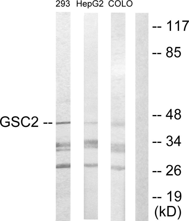 GSC2 Antibody (PA5-38526)