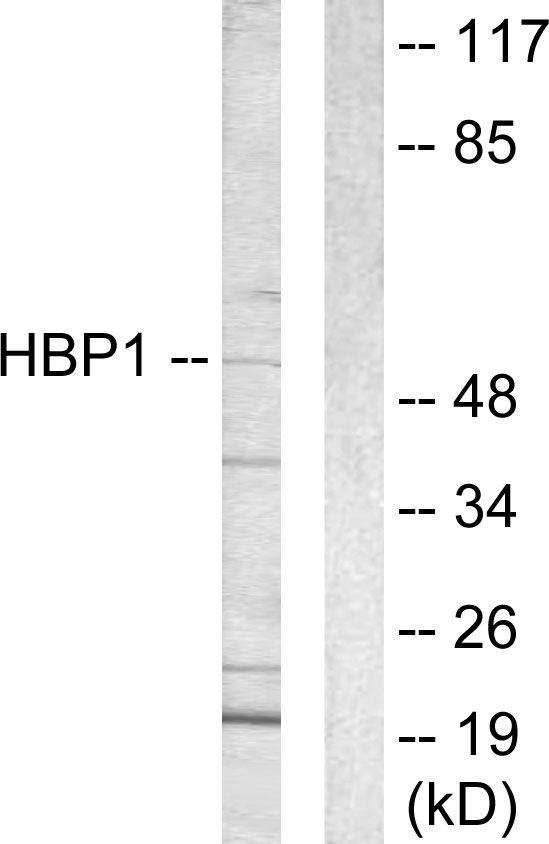 HBP1 Antibody (PA5-38537)