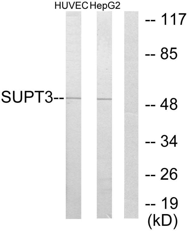 SPT3 Antibody (PA5-38548)