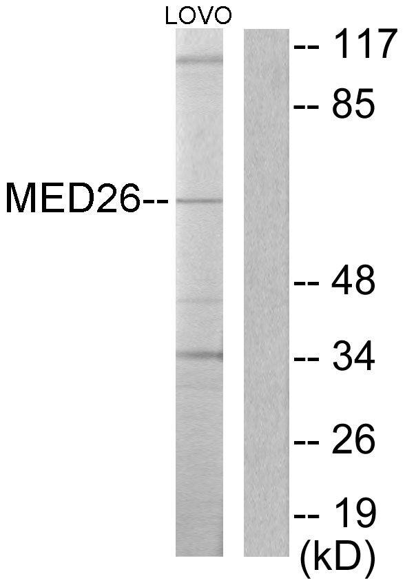 MED26 Antibody (PA5-38559)