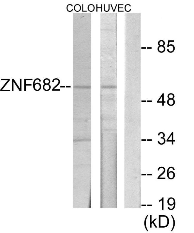 ZNF682 Antibody (PA5-38562)
