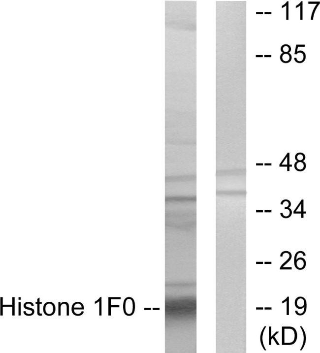 Histone 1F0 Antibody (PA5-38570) in Western Blot