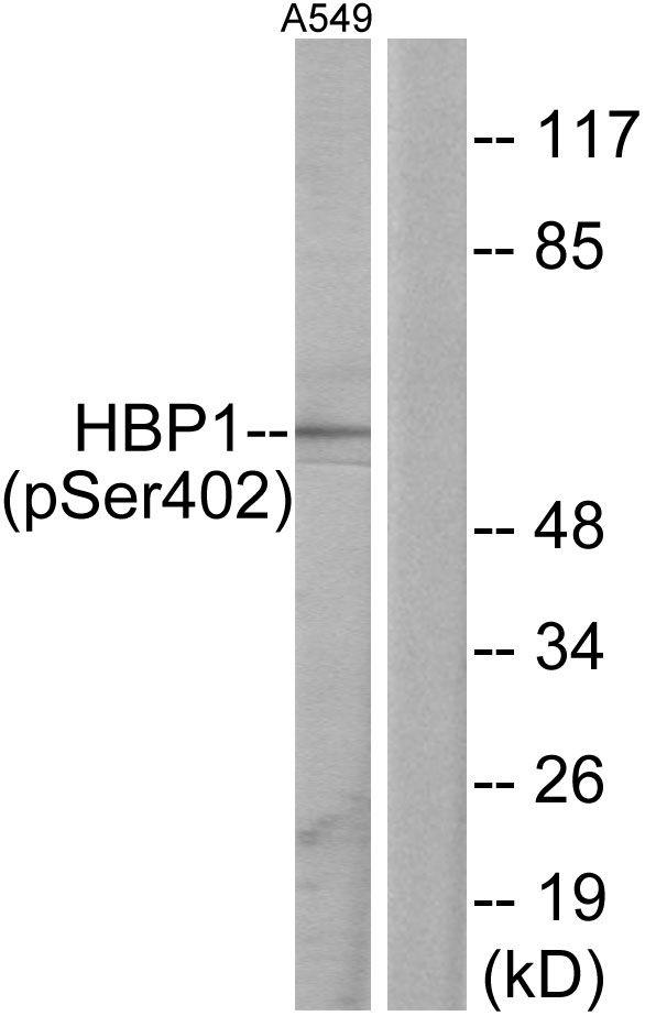 Phospho-HBP1 (Ser402) Antibody (PA5-38576)